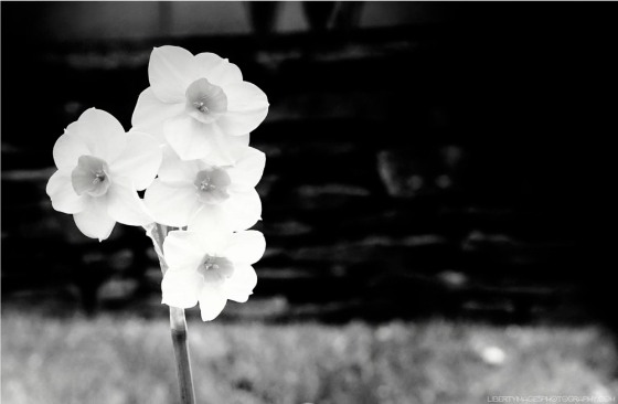 Spotlit_BWDaffodil_LibertyImages
